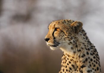 photography-cheetah-kruger-safari-south-africa