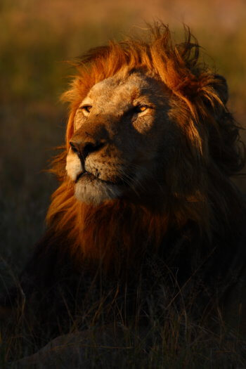wildlife-photography-lion-portrait-kruger-safari-royal-malewane