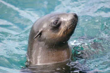 marine-life-sea-hermanus-seal