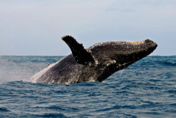 marine-life-sea-hermanus-whale-watching-breaching
