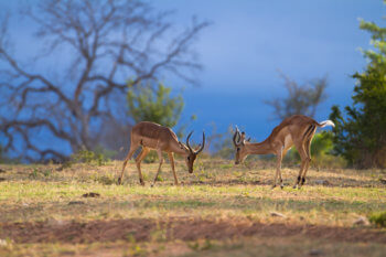 kruger-luxury-safari-impala