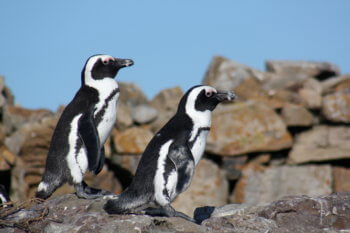 penguins-near-experiences-hermanus