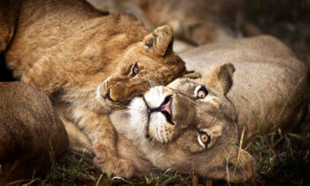 wildlife-riaan-lion-mother-cub-safari-kruger