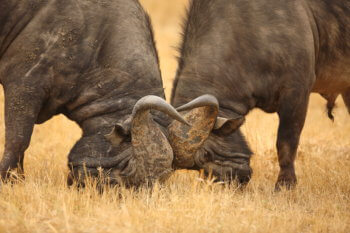 wildlife-ryan-cape-buffalo-bulls-safari-kruger