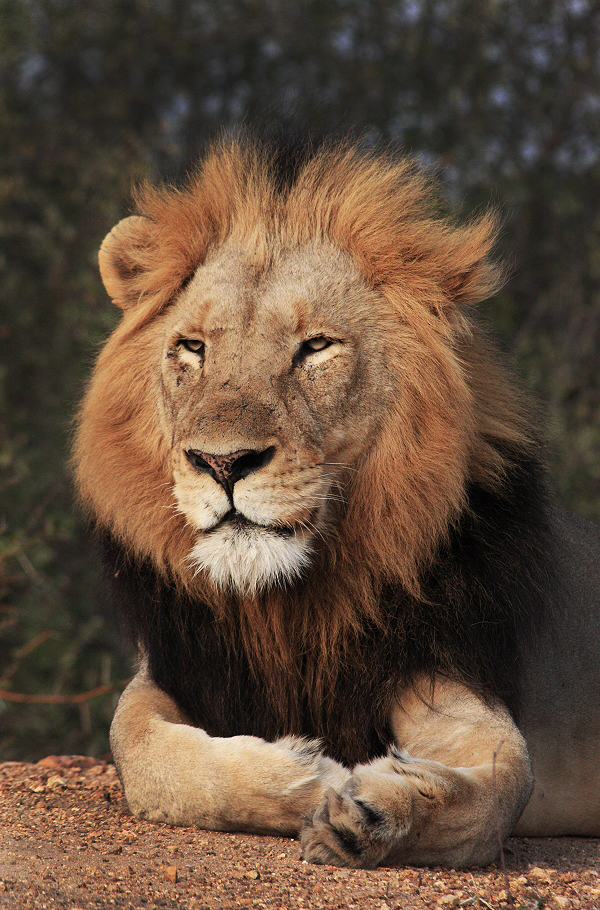 male-lion-safari-south-africa