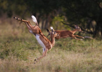 photography-wildlife-impala-jumping-kruger-antelope-safari