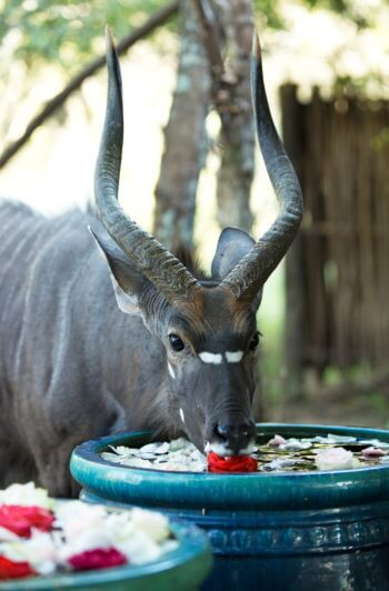 wildlife-nyala-lodge-safari-luxury-antelope