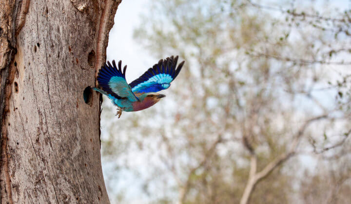 lilac-breasted-roller-south-africa