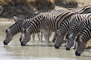 wildlife-zebra-luxury-private-safari-africa-animal