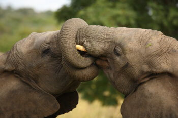 wildlife-elephant-kissing-south-africa