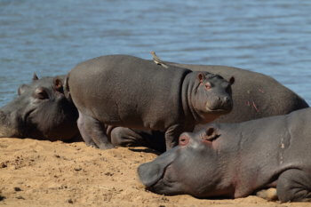 hippo-luxury-safari-wildlife-kruger