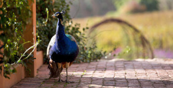 peacock-bird-franschhoek-nature