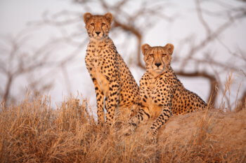 wildlife-ryan-cheetah-cub-safari-kruger