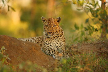 wildlife-ryan-leopard-safari-kruger