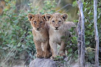 wildlife-ryan-lio-cubs-safari-kruger