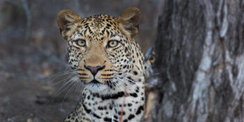 leopard-safari-south-africa