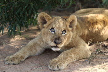 lion-cub-kruger-luxury-safari-lodge