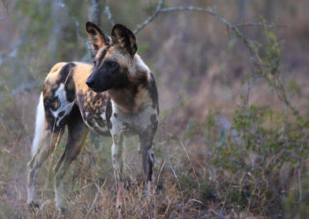 wild-dog-safari-south-africa
