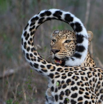 safari-leopard-south-africa