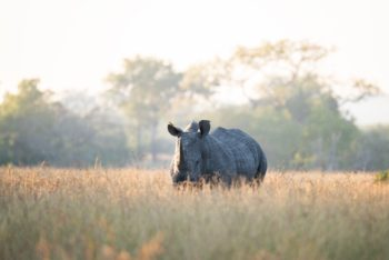 rhino-royal-malewane-safari